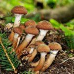 Шимеджи — подробная характеристика этих грибов